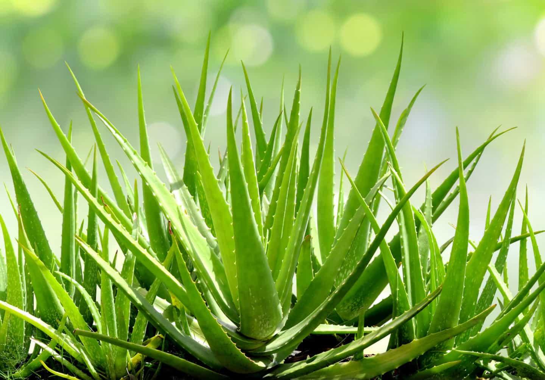 Verwendung von Aloe Vera in kosmetischen Produkten